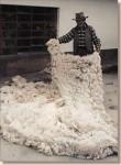 Don Julio displays a fine fleece at Accoyo Ranch.